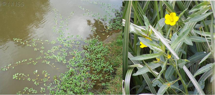 (Ludwigia) Water Primrose
